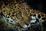 Обои Ягуар крупным планом, фотограф Richard Boyd
