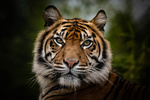 Обои Морда тигра на размытом фоне, фотограф Richard Boyd