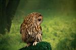 Обои Сова на размытом фоне природы, фотограф Richard Boyd