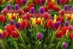 Обои Красочные тюльпаны, by susan-lu4esm
