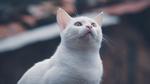 Обои Белая кошка смотрит куда-то