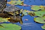 Обои Черепаха сидит на коряге, на фоне водоема с листьями на воде, by Capri23auto