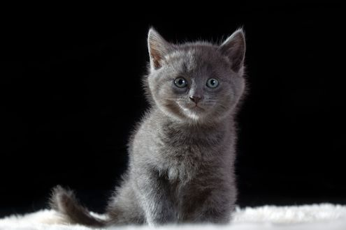 Дымчатый котенок на черном фоне