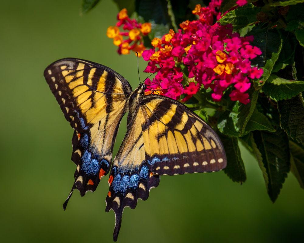 Обои для рабочего стола Бабочка - махаон тигровый сидит на цветке, by Perry Hoag