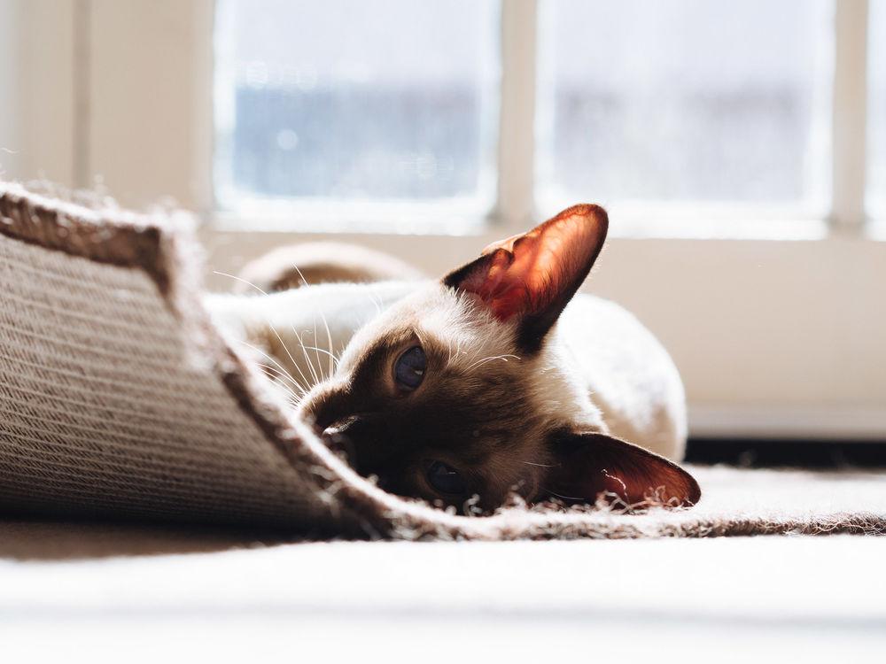 Обои для рабочего стола Голубоглазая сиамская кошка лежит на коврике