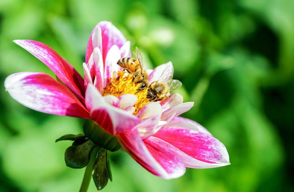 Обои для рабочего стола Розовый цветок георгины с пчелой на размытом фоне