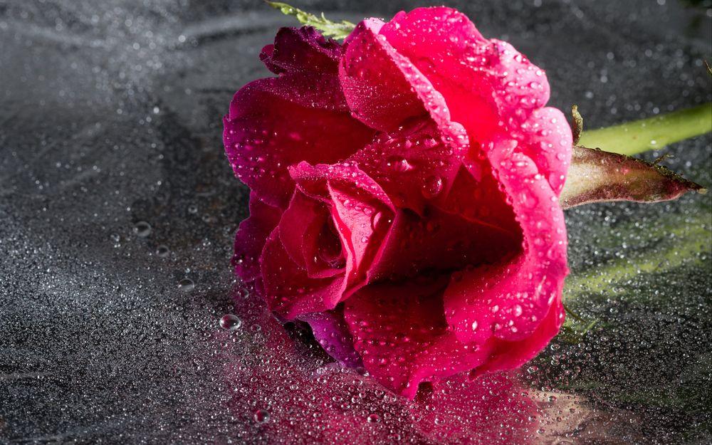 Обои для рабочего стола Роза в капельках воды, by Barney Moss