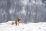 Обои Волк стоит на снегу, by Daniel DAuria