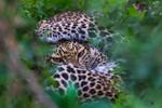 Обои Леопард за листвой, by Daniel DAuria