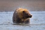 Обои Медведь стоит в воде и отряхивается, by Daniel DAuria
