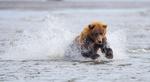 Обои Медведь стоит в воде, by Daniel DAuria