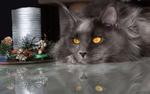 Обои Кошка пепельного цвета с желтыми глазами породы мейн-кун лежит перед новогодними шишками и другими предметами
