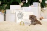 Обои Серый котенок сидит на пушистом ковре рядом с подарками