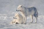 Обои Два волка на снегу, by Johanne Dauphinais