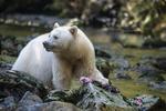 Обои Белый медведь на камнях с пойманной рыбой под лапой, by Terry Allen