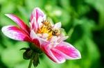 Обои Розовый цветок георгины с пчелой на размытом фоне