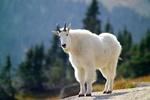 Обои Белый горный козел, by skeeze