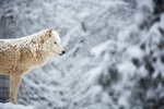 Обои Белый волк под снегопадом, by DB-Naturfotografie