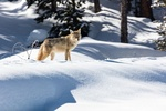 Обои Койот стоит на снегу, by skeeze