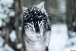 Обои Волк выглядывает из-за дерева, by Amphispiza