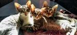 Обои Три милых котенка, by Nitish