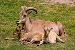 Обои Коза с козлятами лежат на траве, by Gerhard Gellinger