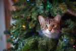 Обои Серый котенок на новогодней елке, by Jessica Lewis
