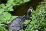 Обои Черепаха в траве, by jggrz