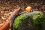 Обои Белка смотрит на яблоко