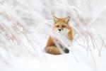 Обои Рыжая лиса на снегу
