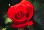 Обои Красная роза на размытом фоне, by Serafima Lazarenk