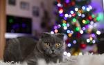 Обои Британская короткошерстная кошка лежит на ковре на фоне новогодней елки с гирляндой