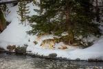 Обои Волк бежит по заснеженному берегу водоема на фоне елок, by 12019