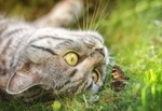 Обои Зеленоглазая кошка лежит на траве и смотрит на бабочку, by Thanasis Papazacharias