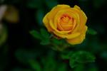 Обои Желтая роза на размытом фоне, by Joel Olives