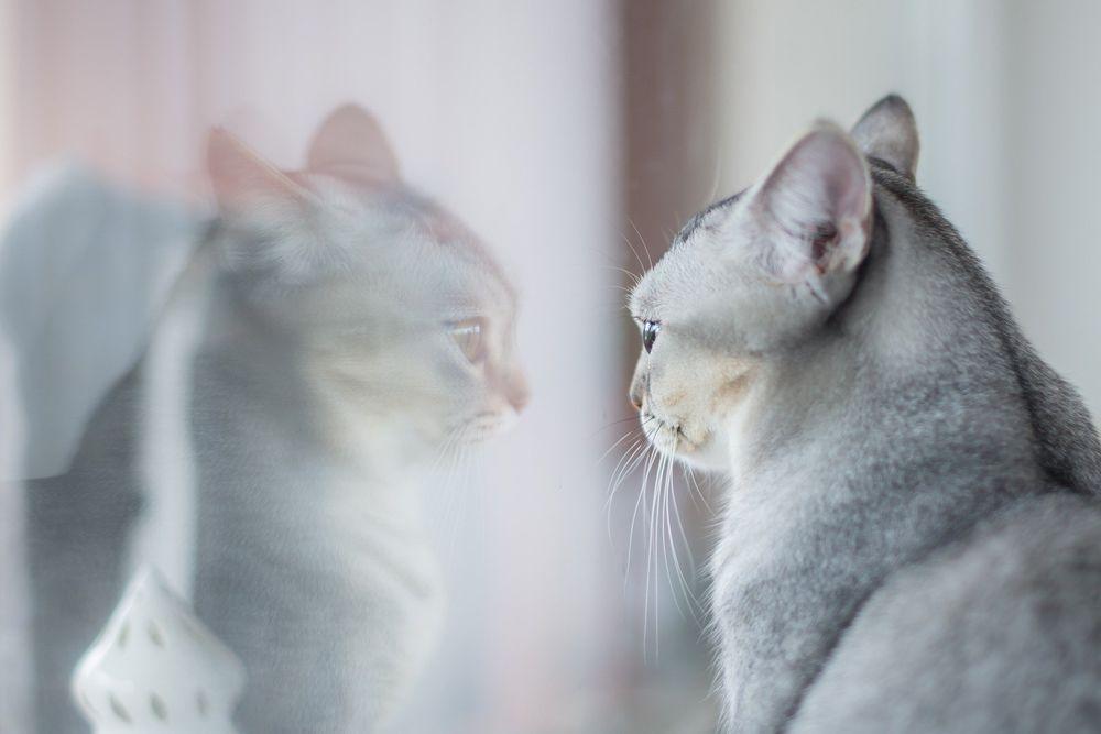 Обои для рабочего стола Серая кошка в отражение, by Peter Skitterians