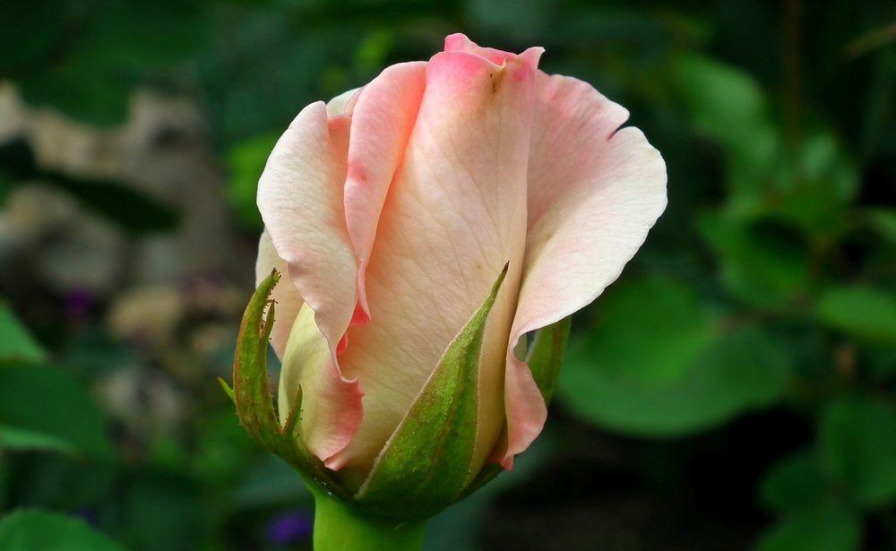 жизнедеятельности домашних бутоны роз фото хорошего качества никогда сожалела