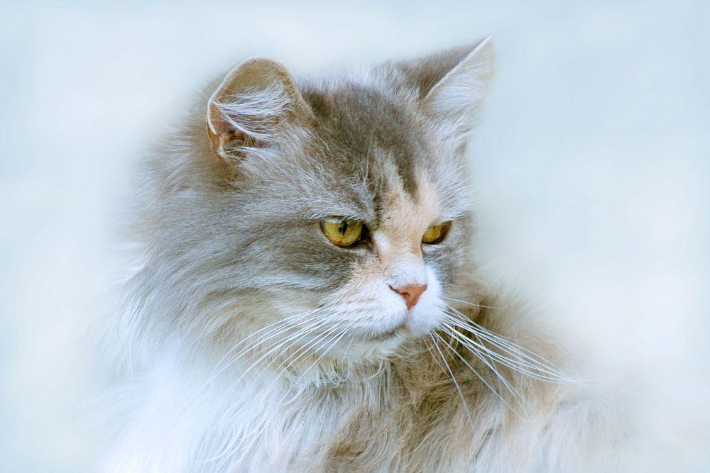 Обои для рабочего стола Серо-белая кошка с желтыми глазами, by Oleg Sidorin