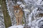 Обои Волк стоит на снегу в заснеженном лесу, by Marcel Langthim