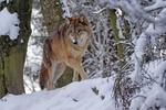 Обои Волк в зимнем лесу, by Marcel Langthim