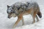 Обои Заснеженный волк идет по снегу, by Marcel Langthim
