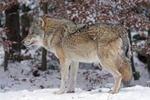 Обои Волк в профиль стоит на снегу на размытом фоне, by Marcel Langthim