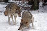 Обои Два волка на снегу, by Marcel Langthim