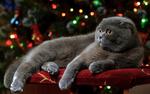 Обои Серый кот-британец на фоне украшенной ели, фотограф Диденко Юрий