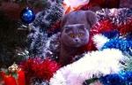Обои Британский кот среди мишуры, by by Valentina Sotnikova