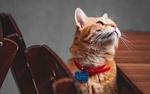 Обои Рыжий кот по кличке Сэм смотрит вверх, сидя за столом, фотограф Zac Wolff