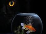 Обои Черная кошка смотрит на аквариум с рыбкой