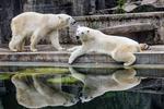 Обои Белые медведи у бассейна в зоопарке