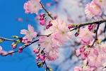 Обои Цветущие ветки яблони на фоне неба, by Mabel Amber