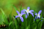 Обои Сиреневый цветок снежная слава на размытом фоне, by Mabel Amber